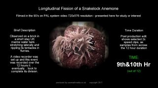 thumvidpost – Sea Anemone tears itself into 2 over 12 hours (1min timelapsed)