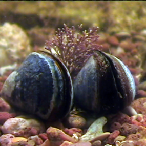 common mussel