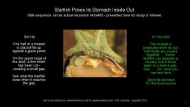 starfish-pokes-its-stomach-inside-out
