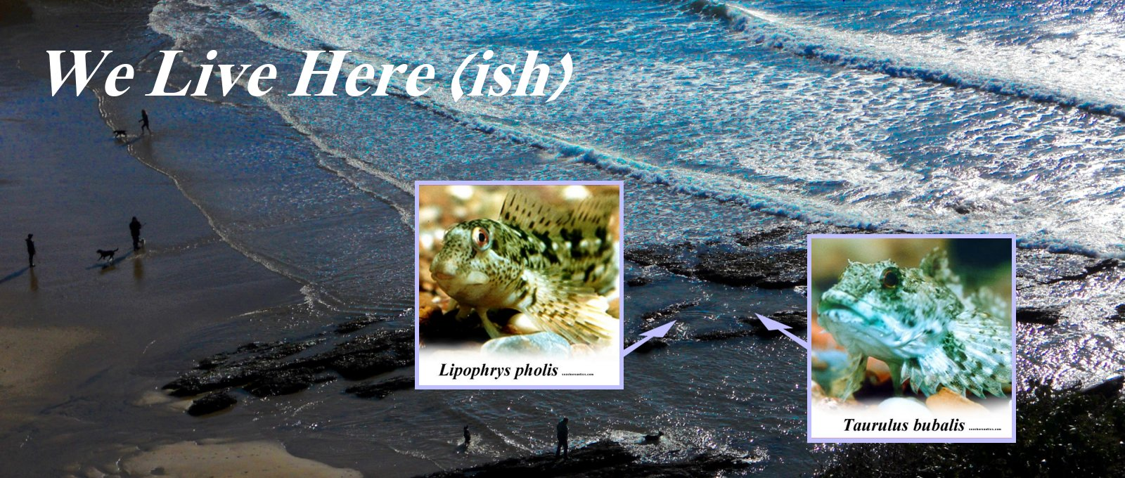 seashore scape with images overlay of blenny and sea scorpion