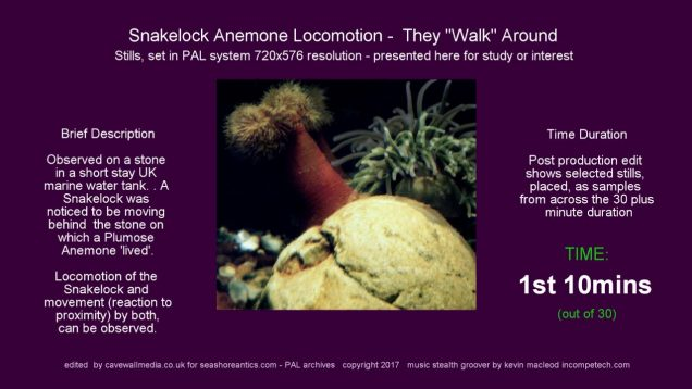 "Snakelock Anemone ""walks"" up rock, has a fight, then falls off"